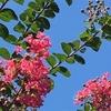 サルスベリの花と水仙の球根♪