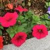 ペチュニアは心を和ませる色とりどりの花、