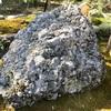 寒川神社で国民を見守る 国家君が代の「さざれ石」(寒川町)