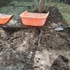 第2エリアの芝の土壌改良 やはりやつがいました