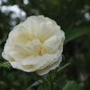 バラ「デズデーモナ」とレモンの木の下のひらりねこ