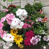 ベランダの花の植え替え2021夏