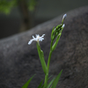 シャガ Iris japonica