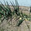 タマネギの間引き 畑に肥料を入れる