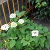 紫陽花の玉雫きらり七色に