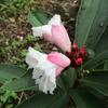 挿し木苗の福神草に花が咲きました !!