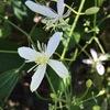 送られてきた1枚の写真,添えられていた言葉は;  「酷暑の中,センニンソウが咲き始めました.雑草ですが,大好きな花の一つ.2年ほど前に,庭に移植しました」名前も姿も美しい,しかし初めて見る花.名前はどこかで見たことがある---なんと属名のラテン語名はクレマチス!園芸種のクレマチスは,育てることを敬遠してきましたが,センニンソウなら,見つけ次第すぐにでも庭に移植してみたいでものです.