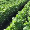 みどりや毛豆の始まり(5) 野菜の販売日を決める