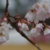 出初式と十月桜