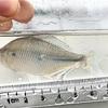 オオタナゴの特徴 外観・性格・繁殖・釣り情報を詳しく解説!