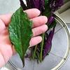 緑と紫の奇妙な葉『金時草』のお味は?