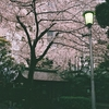 535  雨と桜
