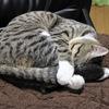 しっぽを抱きかかえて寝てる!