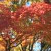 鹿沼公園の紅葉 今週末は楽しめます! (11月30日現在)