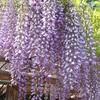 牛島藤花園・色な場所の思い出・紫4…