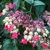 新宿御苑で見た植物23 ベニゲンペイカズラ