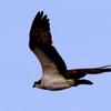 霞ヶ浦付近の上空を飛ぶミサゴとノスリ
