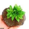 (水草)リムノフィラsp.スリランカ タイプA(水上葉) 穴あき溶岩石付(無農薬)(1個)