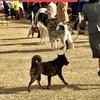 甲斐犬サンのドッグショーへの道〜大阪東ビューティフルドッグクラブ展〜