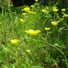 黄色の花 ウマノアシガタ