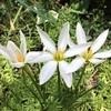 タマスダレの花