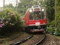 箱根登山鉄道「あじさい電車」と箱根の紫陽花