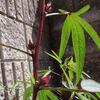 ハイビスカスローゼル もう少しで咲きそう。。今年は遅いです。