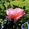 「佐久の季節便り」、「オオヤマレンゲ(大山蓮華)」の花が、夏空に似合う…。