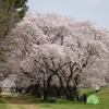 兵庫県伊丹市)武庫川河川敷緑地。桜満開。