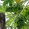 庭の収穫物 その10 パパイア