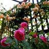 庭のお父さんの遺作とバラ