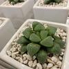 こんぺいとう?氷砂糖?いえいえ、れっきとした植物です!