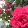 春の木=椿