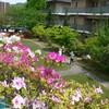 ヒラドツツジと散歩 野の花→キジノムシロ