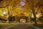 北海道大学の紅葉・黄金色のイチョウ並木が見頃です