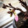 今年の桜井。