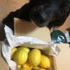 犬とレモン、犬と柑橘
