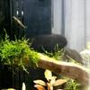 メダカの稚魚と稚エビの水槽立ち上げ