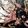 アバンギャルドな桜