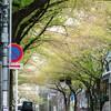 中野の桜⑤