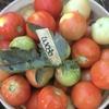 Bundabergでのファームジョブ(3・4月〜):歩合制ピッキング総じてトマトはマシ、ズッキーニはしんどめ