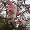 梅の花の写真撮影@世田谷梅まつり