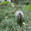 玉虫は玉虫アート、玉虫アクセサリーになっています玉虫色は有名。