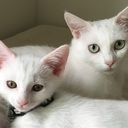 白猫うにまろ日記