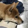 柴犬あきとの生活 54