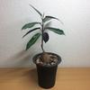冬のナタレンシスは観葉植物として考えてみましょうか