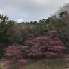 今日ありて春の寒緋の咲くところ