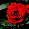 薔薇 コンラッド ヘンケル