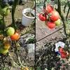 中玉トマト栽培記録 (13~14週間)