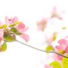 花水木と八重桜